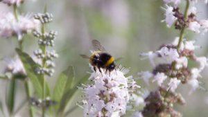El Vitex Agnus Castus es una planta especialmente melífera. Un solo ejemplar ofrece grandes cantidades de néctar y atrae abejas y otros seres que están amenazadas o en peligro de extinción.