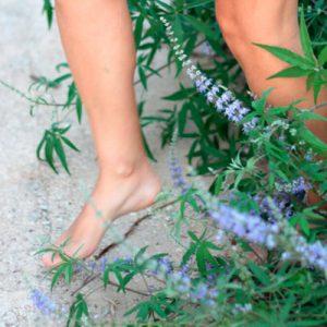 Sauzgatillo planta para dolores de regla