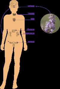 El sistema endocrino es un sistema de comunicaciones químicas que viajan por el torrente sanguíneo. Actúa conjuntamente con el sistema nervioso e inmunitario y se encarga de la estabilidad interna del organismo.