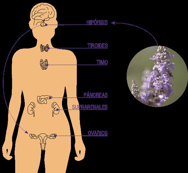 El Vítex actúa sobre la Hipófisis o Glándula Pituitaria que está situada en la base del cráneo y está considerada la glándula maestra ya que rige la actividad de las otras glándulas endocrinas. 